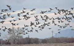 Duck Hunter's Dream -- Mallard Emigration (Anas platyrhynchos);  Albuquerque, NM, Tingley Beach Park [Lou Feltz] (deserttoad) Tags: newmexico bird nature water animal duck wildlife mallard waterfowl wildbird
