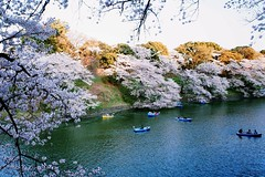 Cherry Blossom Viewing (Gai) Tags: pink sky flower japan river cherry boat spring blossoms tourist boating   sakura  moat     chidorigahuchi