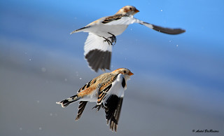 Plectrophanes des neiges / Snow Bunting