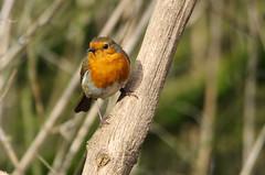 Robin (New Forest Man) Tags: robin birds woodland garden wildlife hampshire hide trust newforest blashfordlakes