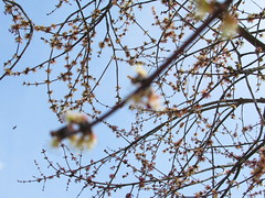 Blossoms On A Tree. (dccradio) Tags: trees sky tree nc sticks branches blossoms northcarolina bluesky bloom buds blossoming limbs lumberton treeblossoms robesoncounty walnutmanorapartments