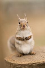 Japanese squirrel (Reinfox) Tags: animal zeiss mammal squirrel sony 動物 carlzeiss sciuridae リス 栗鼠 japanesesquirrel 井の頭自然文化園 sal135f18z 哺乳類 日本栗鼠 inokashiraparkzoo ニホンリス sciuruslis sonnart135mmf18za sonnart18135 α7ii ilce7m2 sonyα7ii