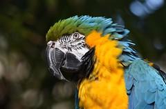 Macaw (careth@2012) Tags: portrait nature wildlife beak feathers