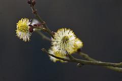 Blickfang im Frhling (blacky_hs) Tags: flower blumen frhling ktzchen weiden platinumheartaward