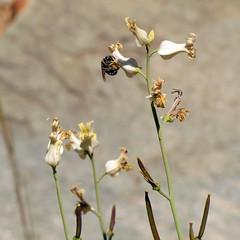 Lyreleaf Jewelflower (treegrow) Tags: arizona plant nature tucson saguaronationalpark brassicaceae angiosperms lifeonearth tucsonmountains streptanthuscarinatus taxonomy:binomial=streptanthuscarinatus canonpowershotsx40hs