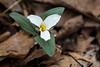 Trillium nivale (Travis Mahan) Tags: park county snow trillium illinois allerton piatt nivale