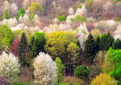 Primavera dalla mia Finestra 2 XDSCN5812_02 (papamillo) Tags: trees primavera alberi spring colori forests  campodeifiori  boschi foreste