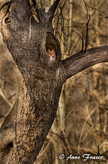 A little red Screech Owl sitting in a tree... (Anne Marie Fraser) Tags: red tree nature hole nest wildlife owl screech