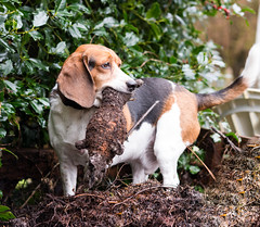 13/52    toys (cathy sly) Tags: beagle toy basil dogwithtoy 52weeksfordogs