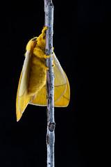 Io Moth, Automeris io (webersaustin) Tags: yellow moth silk fresh underside iomoth automerisio saturnidae