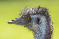 Emu profile (andymulhearn) Tags: canon canonef70200mmf4lusm flickrbirds eos7d2 cotswoldbirdland