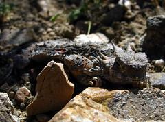 Horned Lizard (Dru!) Tags: california ca usa scale desert horns lizard mojave spikes kelso scaled mojavenationalpreserve hornedlizard regalhornedlizard