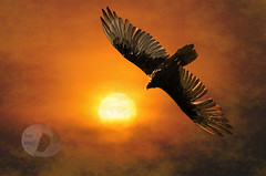 Morning flight (Vivid_dreams) Tags: morning color detail art nature birds artistic action wildlife digitalart vulture digitalphotography digitalmanipulation turkeyvulture morningfog artisticmanipulation wildlifeportraits