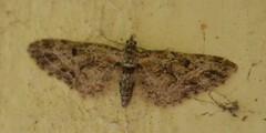 Moths (David A's Photos) Tags: california humboldt moth pug moths april dorsal larch 2016 bmna annulata eupithecia 7543 cutten