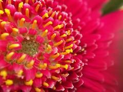 Macro lens flowers (agleibowitz) Tags: pink flowers macro yellow depthoffield pinkflower macrolens afterlight shotoniphone ipadpro olloclip iphone6s shotoniphone6s