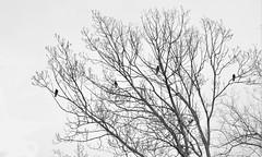 Ravens (aksioma_13) Tags: white black march branch branches ukraine raven ravens