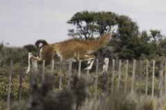 saltar (AgustnCarrillo) Tags: patagonia argentina animal fauna del llama dia lama feliz peninsula valdez agustin carrillo chubut patagonica guanaco