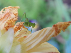 katydid on dalhia full (jeaniephelan) Tags: insect katydid