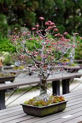 20160413-27-Bonsai at Kyoto Botanic Gardens (Roger T Wong) Tags: travel trees holiday japan kyoto bonsai botanicgardens 2016 canonef70200mmf4lisusm canon70200f4lis canoneos6d rogettwong