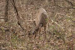 Morning Snack (Tim Stinger) Tags: morning tim illinois wildlife deer eat snack stinger burnidge