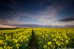 (Claire Hutton) Tags: uk sunset sky colour green field yellow clouds barn contrast landscape evening spring track angle farm farming wide tracks wideangle dorset vista canola rapeseed oilseed 2016 ndgrad leefilters sixpennyhandley 6dhandley sonya6000 samyang12mm