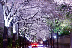 2016ARK Hills (ELCAN KE-7A) Tags: tree japan cherry tokyo spain pentax illumination tunnel embassy hills   roppongi  ark  2016           k5s