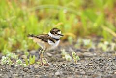 Killdeer Chick (chaines9) Tags: bird nature killdeer babyanimals