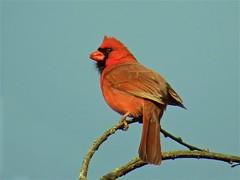 20160428-01 IMG_2105  Cardinal - Pose 1 (rcboehme) Tags: birds cardinal