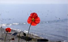 Admiratrices........ (Elyane11) Tags: fleurs lac printemps oiseaux coquelicots