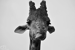 Joseph (Marion_Sc) Tags: monochrome birds animal tongue photography zoo blackwhite noir photographie raptor giraffe et nuit blanc oiseau animalia langue giraffa girafe noirblanc loiretcher rapace beauval animalier camelopardalis tourraine zooparc d5200 valdeloir 55300mm