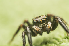 Jumping spider (Rom4rio Photography) Tags: macro nature spider jumping nikon natura micro nikkor f28 animale ais ragno 105mm salticidae allaperto paianjen d3100 nikond3100