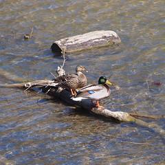 does this make me a wood duck (photography_isn't_terrorism) Tags: nature water duck wv driftwood westvirginia mallard mates prickettsfort prickettscreek