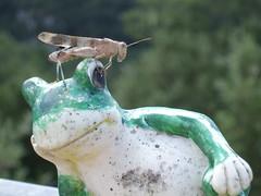 Criquet et grenouille (cristoflenoir) Tags: naturism grenouille naturisme criquet barjac sablire