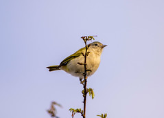 Bird (sostenesmonteiro) Tags: bird nature birds nikon natureza passarinho passaro passaros passarinhos d5200 sostenesmonteiro totecmt