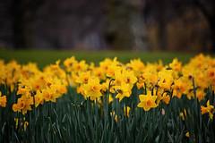DSC_0321 (ashleigh290) Tags: uk flowers england green london westminster yellow spring daffodils stjamesspark unitedkindom