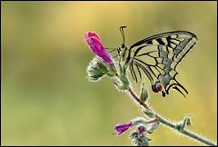 Papilio Machaon   a# (Ziva_Amir) Tags: yellow forest butterfly insect israel bokeh lepidoptera arthropoda swallowtail papilio shoham papilionidae machaon   papilioninae