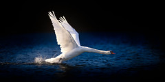 'Patriot' (Jonathan Casey) Tags: swan nikon off take f2 vr 200mm vr1 d810