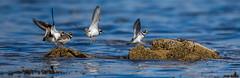 Ringed Plovers - landing (Richard W2008) Tags: birds scotland aves ringedplover charadriushiaticula doonfoot