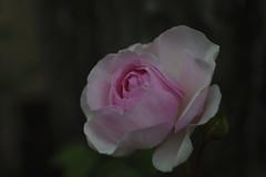 _DSC2045 (Osamu1965) Tags: flower japan zeiss garden spring sony contax jp   okayama     a7m2  carlzeissvariosonnart2870mmf3545mm