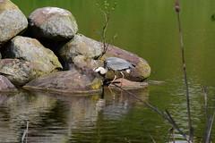 Hron Cendr - 10 (jocelynengi) Tags: heron nature grey lac jo ng hron cendr