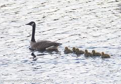 04-27-2016 misc nature-4869.jpg (davemorinphoto.com) Tags: bird birds massachusetts goslings canadageese avian whitinsville