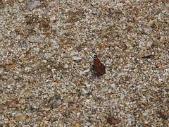 Tagpfauenauge (Sam.24) Tags: schmetterling nymphalidae tagfalter edelfalter aglaisio
