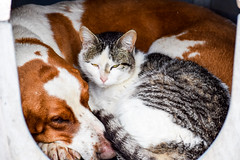 Fast Friends (backerharrison132) Tags: ranch lighting friends light red dog pet pets brown white black silly color cute eye texture nature goofy animal yellow composition rural america cat silver hair puppy photography grey interesting paw eyes nikon rust kitten feline funny dof angle outdoor sleep farm vibrant stripes tail perspective stripe cream kitty clarity canine sharp adobe missouri serene doggy 1855mm paws fulton creature hairs lightroom d3300