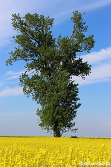 Tree (Stefan Machita) Tags: life summer camp tree verde green beauty field leaves canon spring nice view wheat grau romania delicacy rapeseed vara primavara copac frunze rapita frumos viata dragut frumusete priveliste 700d delicatete