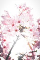 DSC_8515-2 (Frankie Tseng ()) Tags: park pink flowers sunset sky bw flower silhouette photography 50mm blackwhite nikon outdoor flash sunny tokina cherryblossoms fade nikkor 70300mm tamron 90mm f8 1224mm f28 f4 1870mm bwphotography blackwhitephotography portraitphotography outdoorportrait sb900 yongnuo outdoorportraitphotography yn568