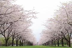Great Cherry row (gemapozo) Tags: park philadelphia cherry us pentax blossom pennsylvania 桜 sakura k3 さくら 桜並木 フィラデルフィア smcpfa31mmf18 アメリカ合衆国 westfairmountpark ウエスト・フェアマウント・パーク