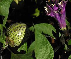 Datura innoxia--  fruit (Dick Culbert) Tags: plant flower fruit tanzania solanaceae devilstrumpet hornofplenty daturametel daturainnoxia taxonomy:family=solanaceae geo:lat=1155 taxonomy:binomial=daturainnoxia taxonomy:common=hornofplenty geo:long=3528 taxonomy:common=devilstrumpet