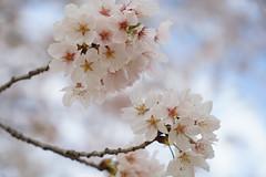 * (SioRAaMEN) Tags: flower japan sony cherryblossoms carlzeiss 2016 a7ii sel2470z variotessartfe2470mmf4zaoss 7ii ilce7m2