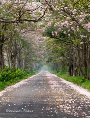 El Camino (rolando chdm) Tags: road mexico arbol camino tabasco miramar frontera centla pinkpoui tabebuiarosea macuili rosytrumpettree