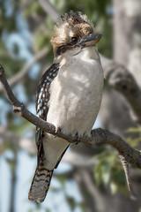 Punk Kooka (BlueberryAsh) Tags: punk gumtree kookaburra australianbird laughingkookaburra greenvale woodlandshistoricpark woodlandsbird